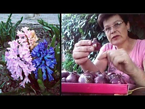 Как посадить гиацинты