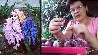 видео Гиацинт: посадка, выращивание, способы размножения и уход