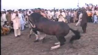 Nisar Stud Farm, Amer Nisar Khan, Kabadi Mela, Festival, Gujranwala, Horse Dancing in Pakistan,