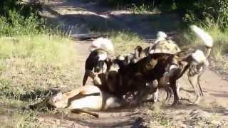 Wild dog en train de chasser