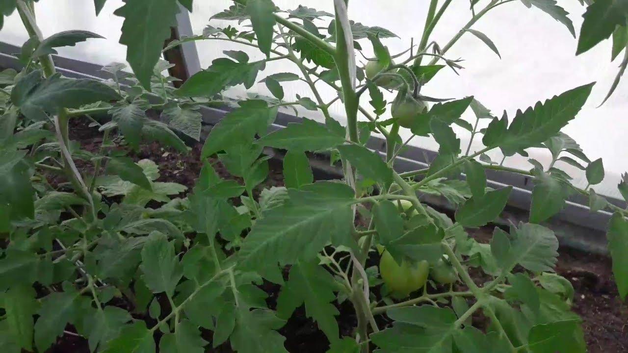Мой уход за томатами после посадки в теплицу.