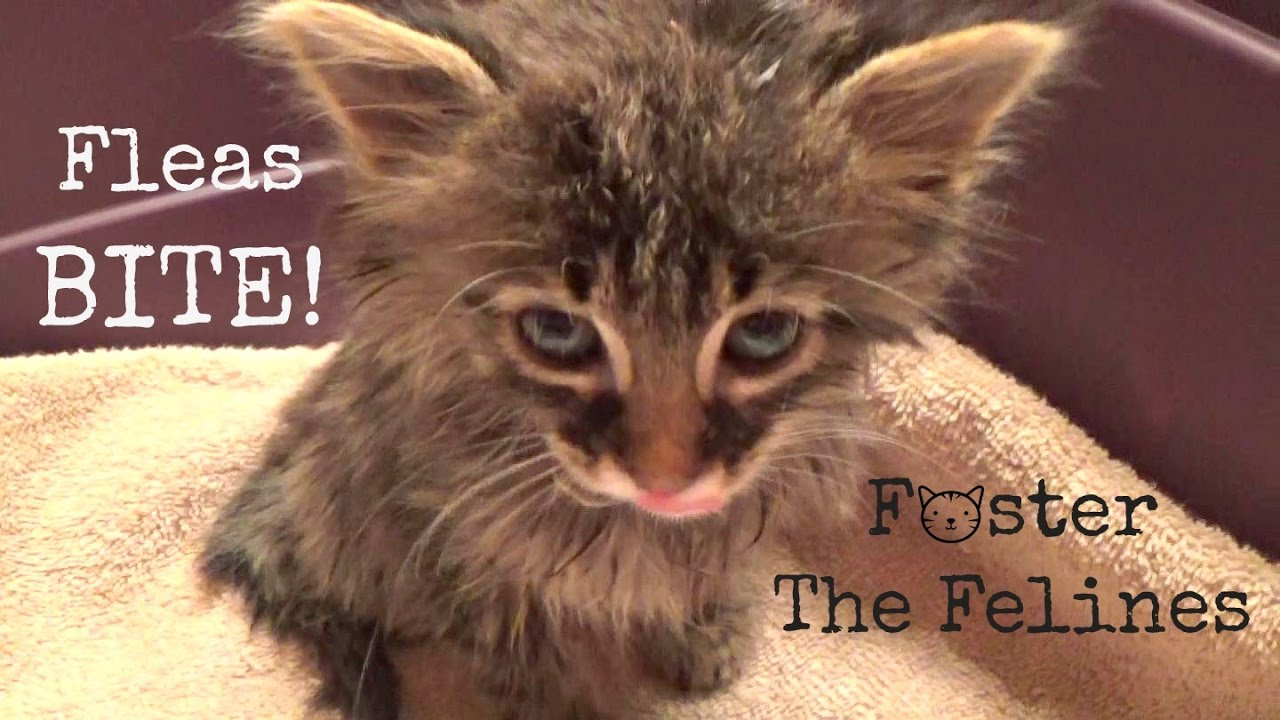 Natural treatment for flea bites on cats