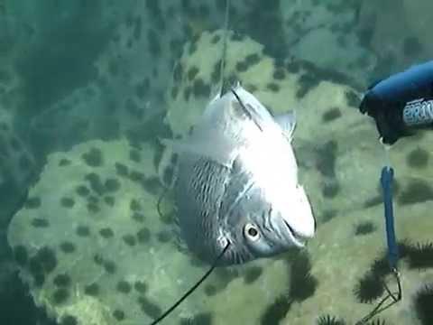 spearfishing in uae by bader al-najdi rob allen 70
