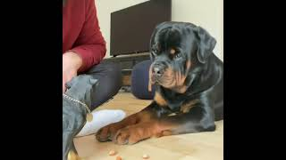 He hates that toy dog and now he hates it more   Look at his face ❤ #Shorts #rottweiler