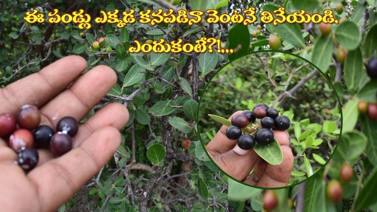 ఈ పండ్లు ఉచితంగా దొరుకుతాయి...అన్ని జబ్బులను దూరంగా తరుముతాయి.../Nature Fruits For Health/