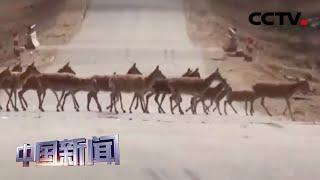 [中国新闻] 迁徙产仔季 藏羚羊集体穿越青藏公路 | CCTV中文国际