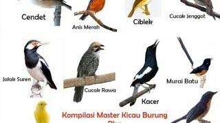Gambar cover Masteran SUPER NGOTOT Cocok untuk wambie kacer murai dll