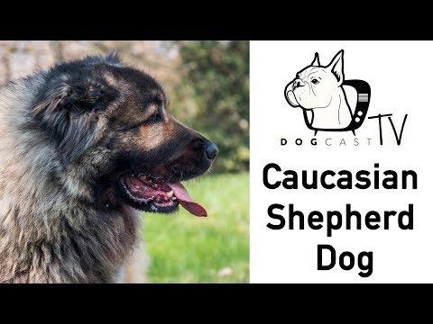 A Kaukázusi juhászkutya - DogCast TV S02E09