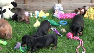 Little Rascals Uk Breeders New Litter Of Pedigree Miniature Dachshunds