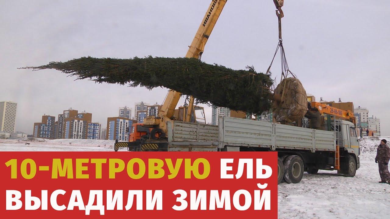 10-метровую ель посадили в Академическом районе