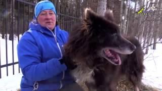 Таймырская ездовая собака