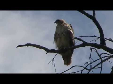 Redtail Hawk in Brookdale Park MOV092
