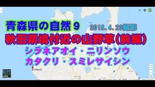 秋田県境付近の山野草前編(シラネアオイ)  2018.4.20撮影 thumbnail