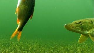 Fishing: PIKE & DEADBAIT 1. Рыбалка: щука и мёртвая рыбка / живец (тушка) -1.
