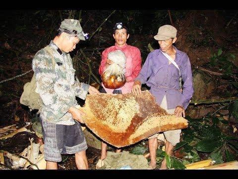 Khai thác Mật Ong Rừng ở Lai Châu