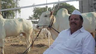 2 lac price killar bulls, marathi,
