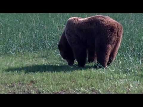 brown bear viewing at hallo bay in katmai national park