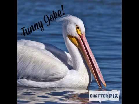 Pelican Joke - YouTube