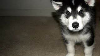 *** How Do I Stop My Alaskan Malamute Pup Barking Through The Night? Easy!!