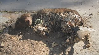 Puppy stuck in tar unable to move saved