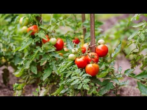 Как уберечь томаты от фитофтороза и кладоспориоза?