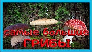 Самые большие невероятные грибы в мире.