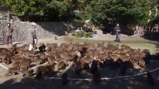 ニホンザルの研究者が行う群れの性格を見る実験。地面に直径8mの円を描...