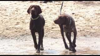 German Shorthaired Pointers - Australia: October Melbourne Beach Gathering