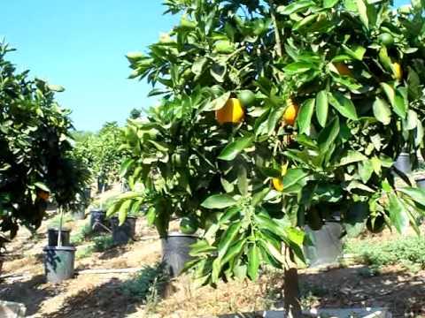 Citrus Valencia Olinda Orange Fruit Size And Color 24box