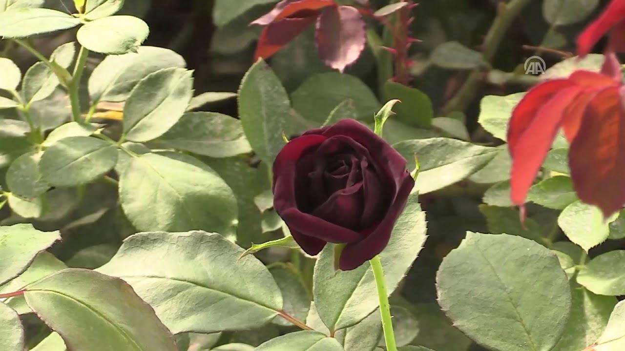 تنفرد به تركيا الورد الأسود يجذب المال والسياح Youtube