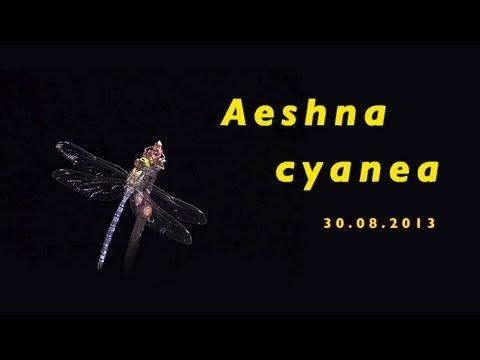 Aeshna cyanea 30-08-2013 trilingual