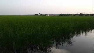 Pokkali Rice Organic Farming Rice Field in Ernakulam Kerala South India Video