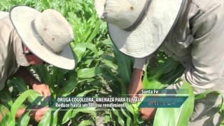 Oruga collera, amenaza para el maíz