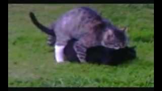 Domestic Cats Breeding