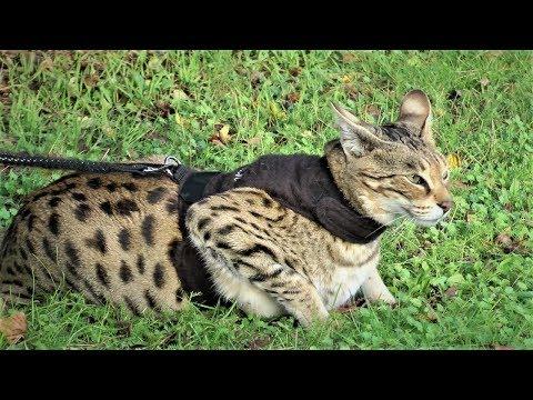 Savannah Cats ATTITUDE to Dogs