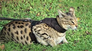 Savannah Cats ATTITUDE to Dogs