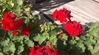 Red Geranium in Full Bloom in Rishikesh Uttarakhand