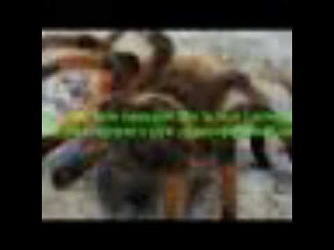 Дзідзьо -''паук