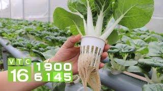 Kỹ thuật trồng rau thủy canh | VTC16