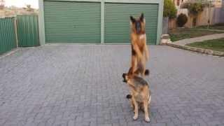 Zeus (german Shepherd Dog) Making Huge Jump Up For Ball - Impressive!!