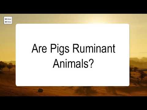 are-pigs-ruminant-animals