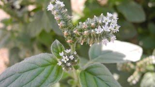 Ядовитые растения. Гелиотроп эллиптический / Heliotropium ellipticum