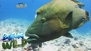 Born to be Wild: Close encounter with napoleon wrasse