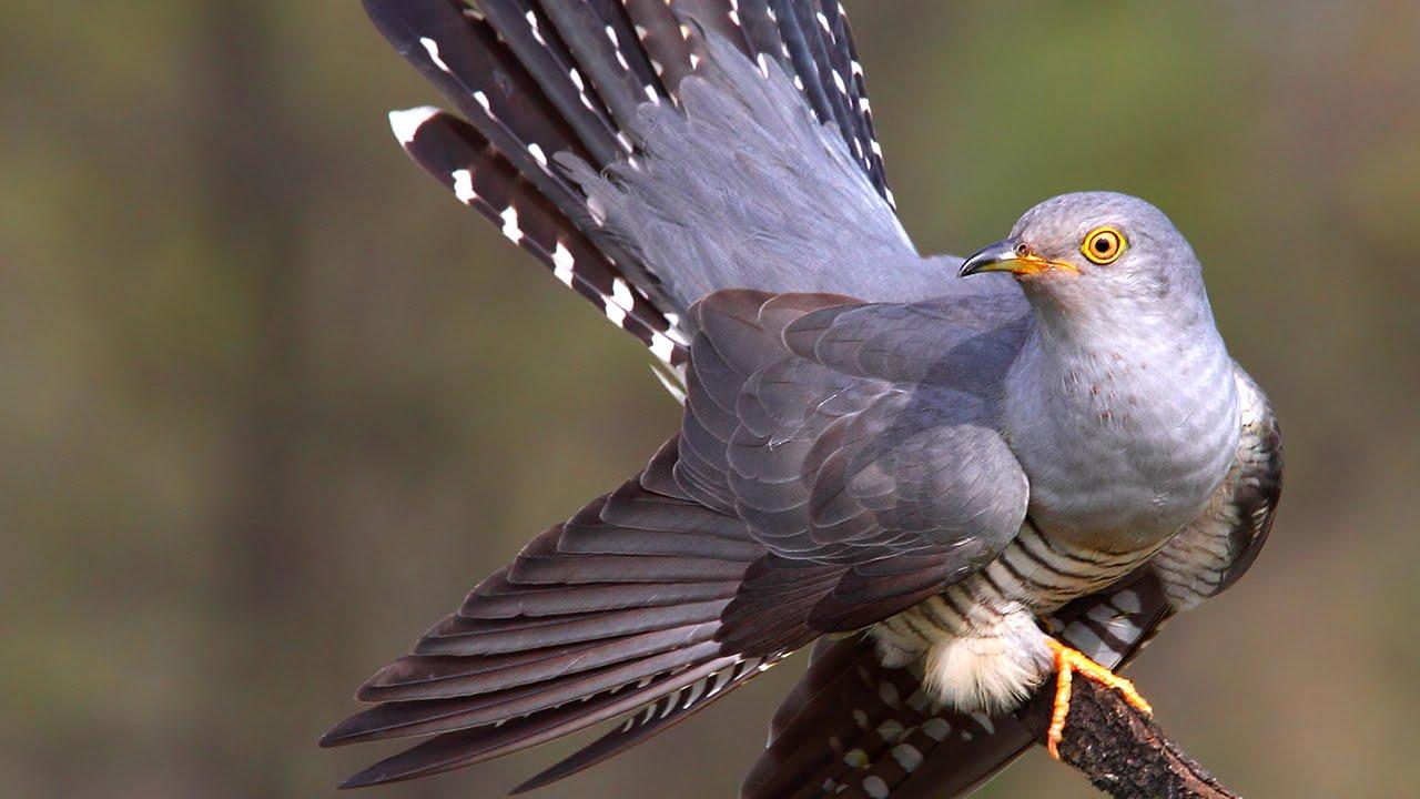 common cuckoo in springtime youtube