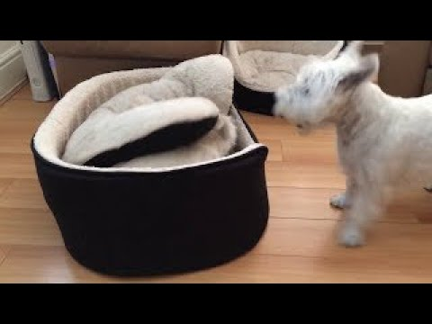 West Highland Terriers engage in hilarious game of peek-a-boo