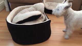 Video West Highland Terriers engage in hilarious game of peek-a-boo download MP3, 3GP, MP4, WEBM, AVI, FLV November 2017