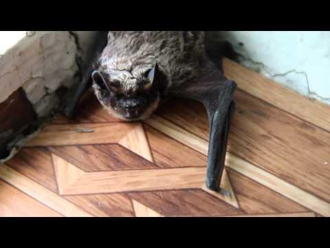 Летучая мышь в