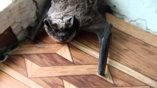 Летучая мышь в доме