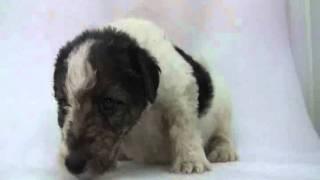 ワイヤーフォックステリアの子犬.