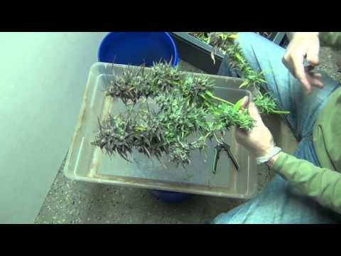 How to Trim and Hang Buds, with TheCapn